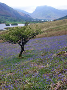 Bluebells, Crummock and Buttermere